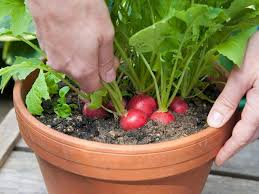radishes are one of the quickest growing vegetables and suitable for container vegetable gardening as you can also grow them in small and wide pots