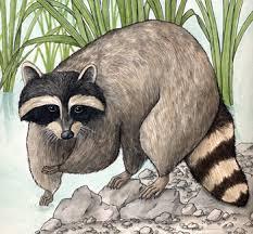 Raccoon Classification Chart Raccoon