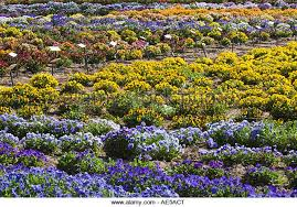 flowers in many colors growing in rows in a field as a crop in gilroy