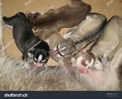 siberian husky newborn puppies. Perfect Puppies Siberian Husky Dog Litter  Newborn Puppies Throughout Husky Newborn Puppies
