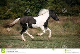 horses galloping in a field. Modren Galloping Spotted Horse Galloping In The Field With Horses Galloping In A Field