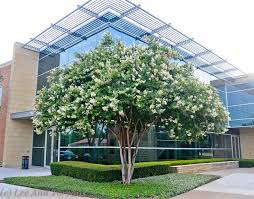 Image result for ​Natchez White Crepe Myrtle