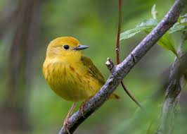 New Audubon Science Two Thirds Of North American Birds At
