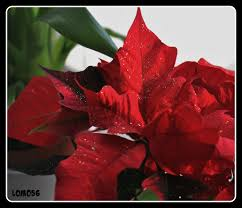 Weihnachtsstern Euphorbia Pulcherrima Der Weihnachtsster