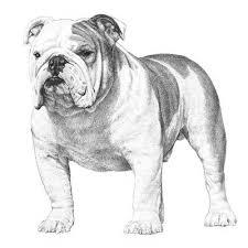 Bulldog Dog Breed Information