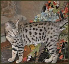 beautiful savannah cats in texas