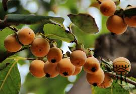 Aliexpresscom  Buy Lilac Persimmon Diospyros Lotus Seeds 200pcs Lotus Fruit Tree