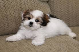 cute shih tzu maltese mix mal shi