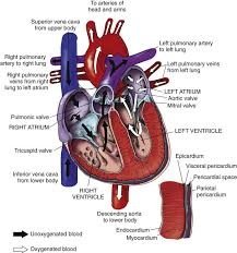 Assessment of the Cardiovascular System | Nurse Key