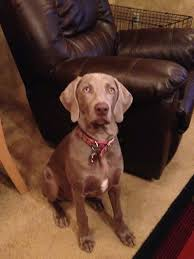 front view a weimaraner dog is sitting on a tan carpet next to a dark