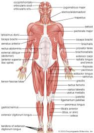 Stomach Muscle Chart Human Muscle System Functions Diagram Facts Britannica