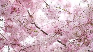 Moving Pink Blooming Sakura Cherry Stock Footage Video 100 Royalty Free 1020727567 Shutterstock