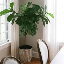house plants. House Plants. Fiddle-Leaf Fig Tree Plants R