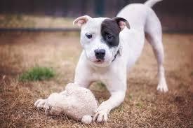 terrier pitbull puppies. Fine Puppies Pit Bull Mix Puppy With Toy On Terrier Pitbull Puppies E
