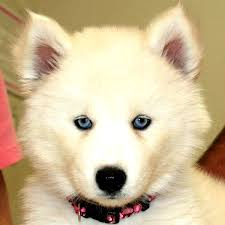 pure white husky with blue eyes. Beautiful Husky White Siberian Husky Blue Eyes Pure With  Durban Dogs Amp Cats Inside F