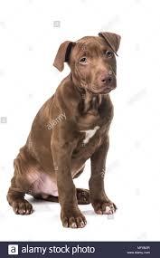Light Grey Pitbull Pitbull Puppy Stock Photos Pitbull Puppy Stock Images Alamy