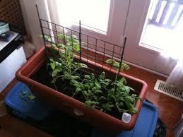 indoor tomato garden. Growing Indoor Tomatoes \u2013 Tips On How To Grow Tomato Plants Over Winter Garden S