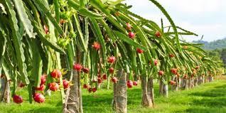 """Результат пошуку зображень за запитом """"buah naga"""""""