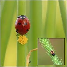 identifying eggs and larvae of ladybugs
