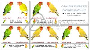 Lovebird Mutation Chart Lovebirds Chart 15 Free Online Puzzle Games On
