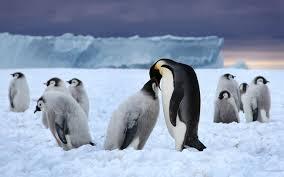 penguin love wallpaper. Plain Love Penguin Love Throughout Wallpaper A