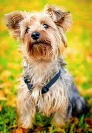 silky dog. size \u0026 color | silky terrier dogs puppies dog breeds