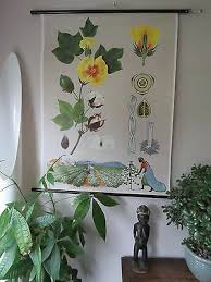 Vintage Pull Down Botanical School Wall Chart Of Rapeseed