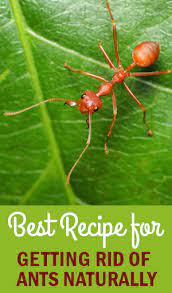 get rid of fire ants in your plants