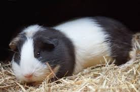 what is the best guinea pig bedding
