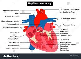 Anatomy Of The Heart Chart Human Heart Muscle Structure Anatomy Infographic Stock Image