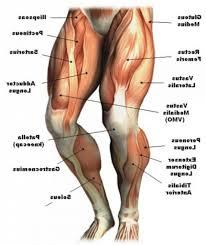 Sheet containing names of each of the muscles. Afrika Zenklas Miestas Leg Muscles Names Yenanchen Com