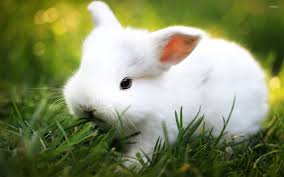 white rabbit wallpaper. Fine White White Rabbit Wallpaper Inside Wallpaper A