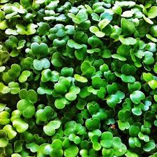 rocket arugula microgreens seeds heirloom open pollinated
