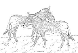 Zebras have long been able to amuse adults and children by the unusual color pattern of their coats. Free Printable Zebra Coloring Pages For Kids
