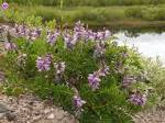 Images & Illustrations of alpine milk vetch