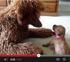Standard Poodle Mom Teaches Her Puppy to Play via Relatably.com