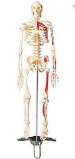 Anatomical Chart Company Cms65 Mckesson Medical Surgical