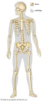 Human Skeleton Parts Functions Diagram Facts Britannica