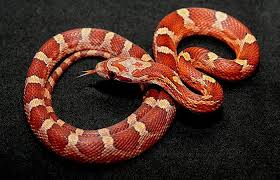 Corn Snake Why Are They The Best Pet Snake Reptilekingdoms