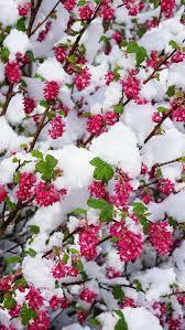 winter, spring, flowers, snow, bud ...