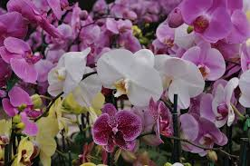 the bexar county master gardener association is curly taking orders for moth orchids that may be