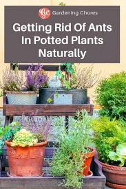 getting rid of ants in potted plants