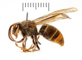 Bee And Wasp Identification Chart Uk Why Asian Hornets Are Bad News For British Bees Natural