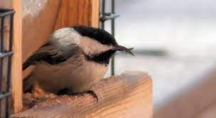 ester | Judy's Mostly Alaskan Bird Blog