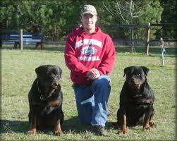 german rottweiler dog. rottweilers, rottweiler breeder, puppies, german stud dogs dog e