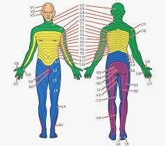 Dermatomal Pattern Fascinating Pain Strips For You Neuroscience Nugget No 48 Noijam