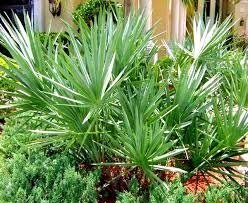 Image result for picture of a saw palmetto palm
