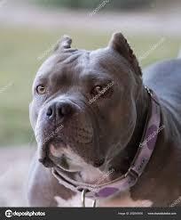 Light Grey Pitbull Ihotos Blue Nose Staffordshire Bull Terrier Blue Nose