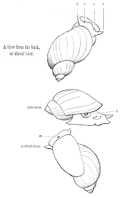 water snail diagram water database wiring diagram images file psm v07 d583 fresh water snail views