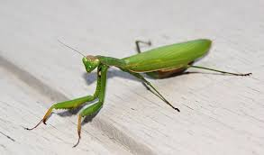 Image result for praying mantis